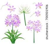 Purple Agapanthus Flower Spring ...