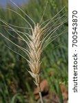 Small photo of Field of Triticum aestivum L , Wheat crop, Maharashtra, India