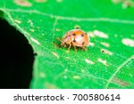 Small photo of An adult male tiny orange Mexican bean lady beetle, lady bug, lady bird (Arthropoda: Insecta: Coleoptera: Coccinellidae: Epilachninae: Epilachna varivestis) with black dot crawling on a big green leaf