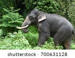 wild indian or asian elephant... | Shutterstock . vector #700631128