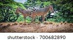 two zebra feeding themselves... | Shutterstock . vector #700682890