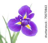 Beautiful Dark Purple Iris...