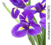 beautiful dark purple iris...   Shutterstock . vector #70070872