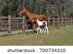 american saddlebred mare and... | Shutterstock . vector #700734310