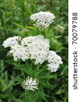 White Yarrow  (Achillea millefolium) a Native Wildflower - stock photo