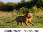 Stock photo running lion scares an intruder from his area in masai mara kenya 700923700