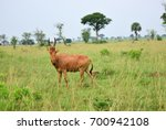 Small photo of Antelope Lelwel Hartebeest (Alcelaphus buselaphus lelwel), also known as Jackson's hartebeest in the Murchison Falls national park, Uganda, Africa