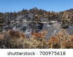 Small photo of Burned pine trees after a forest fire at Solea area in Troodos mountains, Cyprus, in June 2016