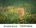 Stock photo ginger kitten in the grass 700994806