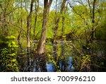 old letea forest  amazing... | Shutterstock . vector #700996210