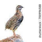 rain quail or coturnix... | Shutterstock . vector #700996588