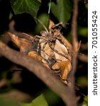 Rain Spider  Palystes...
