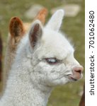 Small photo of Alpaca is a domesticated species of South American camelid. It resembles a small llama in appearance.Alpacas are kept in herds that graze on the level heights of the Andes of southern Peru