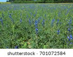 blue lupine crops. field with... | Shutterstock . vector #701072584