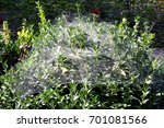 Spider Web On Boxwood Bushes