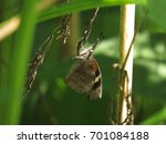 Small photo of American Snout Butterfly Dangles from Wild Plant