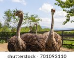 Four Ostrich In A Fenced Area...