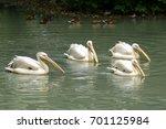 white pelican portrait bird... | Shutterstock . vector #701125984
