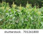 maize or sweet corn  zea mays ... | Shutterstock . vector #701261800