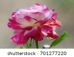 pink and white rose | Shutterstock . vector #701277220