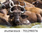 buffalo in nile river in... | Shutterstock . vector #701298376