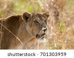 lion in kidepo valley national... | Shutterstock . vector #701303959