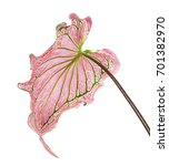 caladium bicolor with pink leaf ... | Shutterstock . vector #701382970