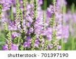 amazing dainty mauve flowers of ... | Shutterstock . vector #701397190
