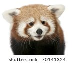 Close Up Of Young Red Panda Or...