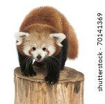 Young Red Panda Or Shining Cat  ...