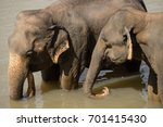 big asian elephants relaxing... | Shutterstock . vector #701415430