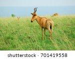 Small photo of Antelope Lelwel Hartebeest (Alcelaphus buselaphus lelwel), also known as Jackson's hartebeest in the Murchison Falls national park, Uganda, Africa