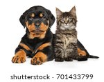 Rottweiler Puppy And Maine Coon ...