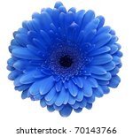 Blue gerbera flower isolated on white background - stock photo
