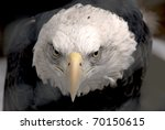 american bald eagle closeup - stock photo