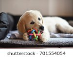 Stock photo golden retriever dog puppy playing with toy while lying on den 701554054
