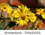 some large yellow flowers of a... | Shutterstock . vector #701625313