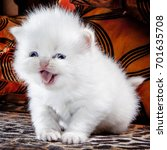 Stock photo white persian kitten 701635708