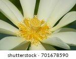 Small photo of American Lotus