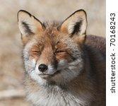 red fox  amsterdamse... | Shutterstock . vector #70168243