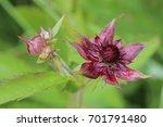 blossom of comarum palustre ...   Shutterstock . vector #701791480