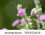 Honey Bee On A Thistle Flower....