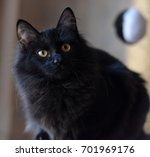 black siberian cat | Shutterstock . vector #701969176