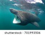 Basking Shark  Cetorhinus...