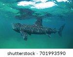 basking shark  cetorhinus... | Shutterstock . vector #701993590