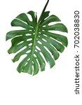 tropical green leaf monstera... | Shutterstock . vector #702038830