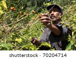 st helena coffee farmer picking ... | Shutterstock . vector #70204714