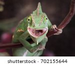 Small photo of Green chameleon hunting. Portrait of an exotic animal. Macro