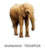 adult african elephant female... | Shutterstock . vector #702169126
