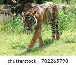 sumatran tigress  panthera...   Shutterstock . vector #702265798